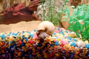 snail in aquarium gravel