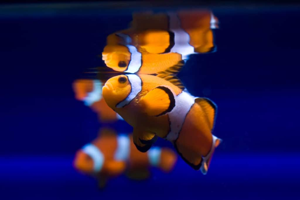 Funny klownfishe (Amphiprioninae)