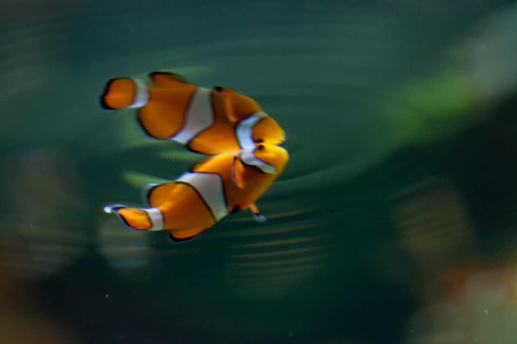 Clownfish in an aquarium