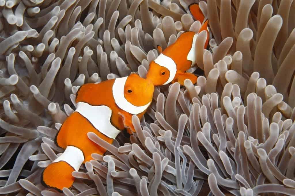 A pair of Clown Anemonefish, Amphiprion percula, in their Sea Anemone. Uepi, Solomon Islands. Solomon Sea, Pacific Ocean