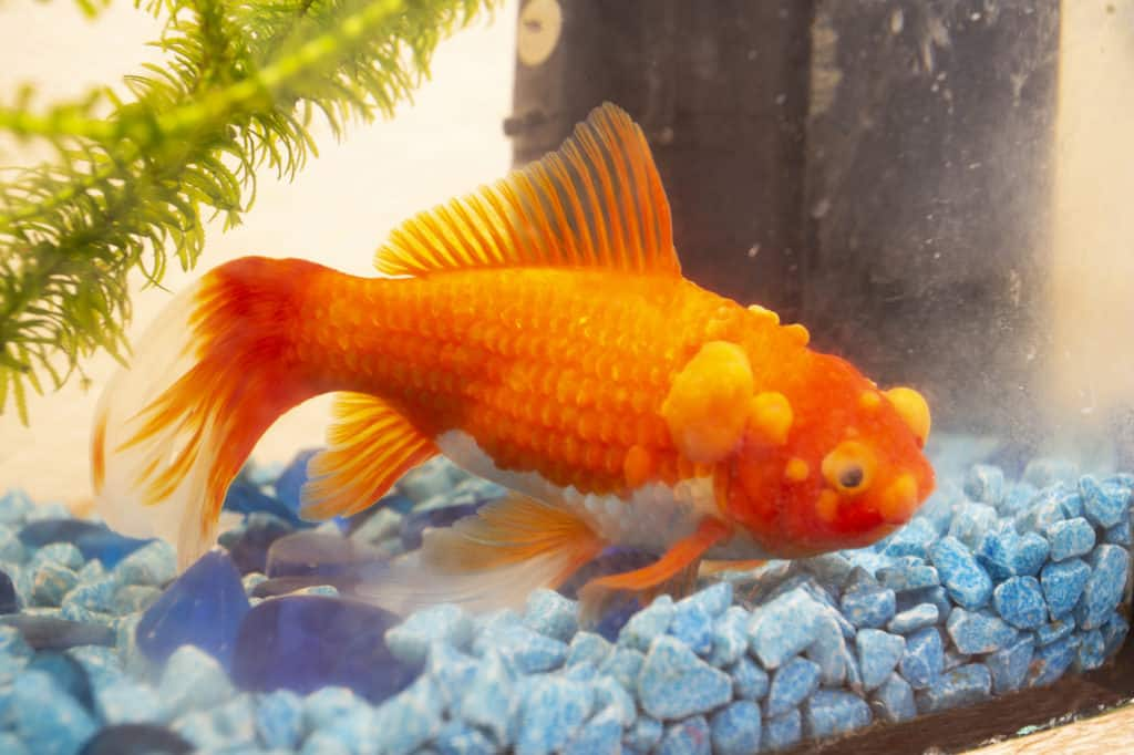 Sick goldfish with bumbs on its scale, fish bowl