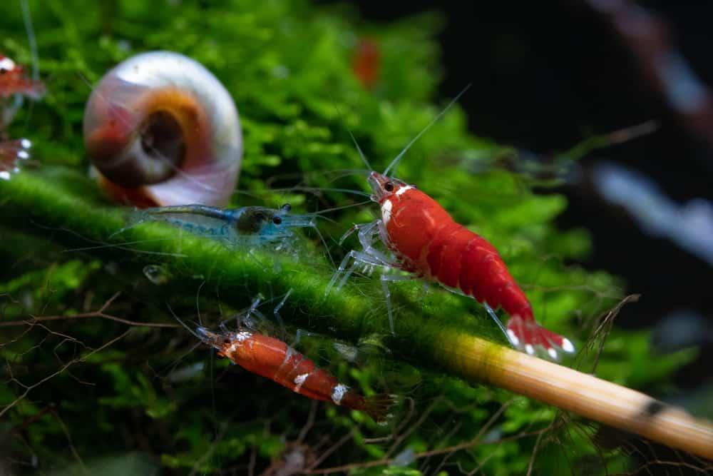 freshwater shrimp walking on bamboo stick