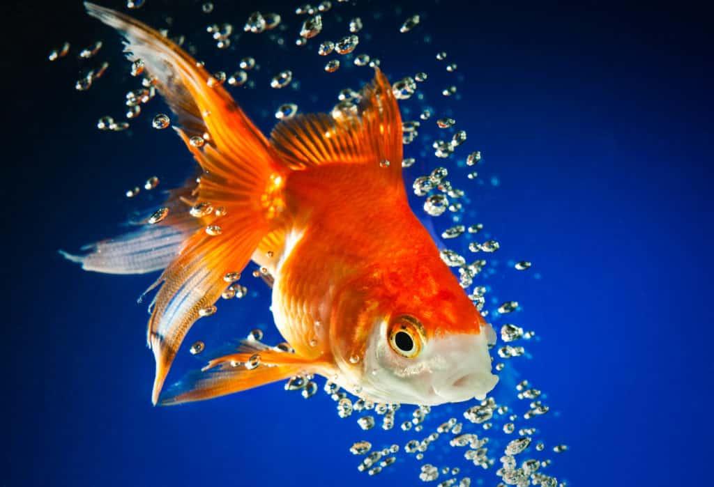 gold fish bubbles