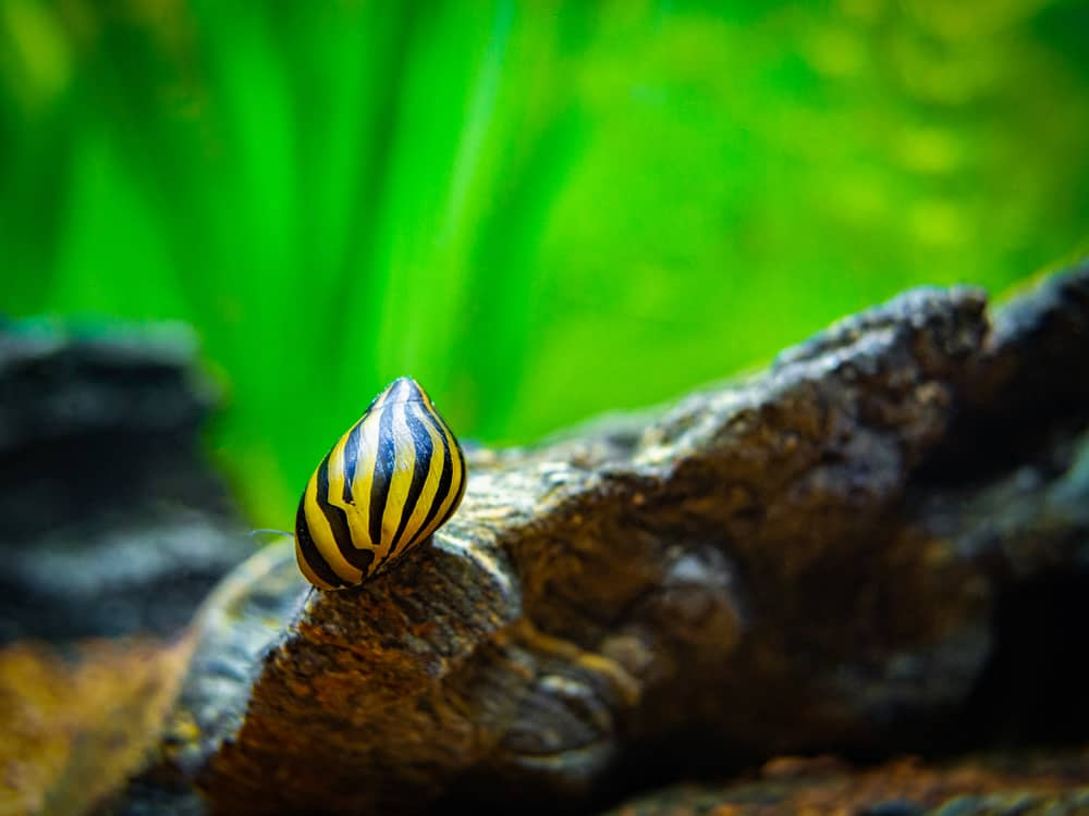 spotted nerite snail