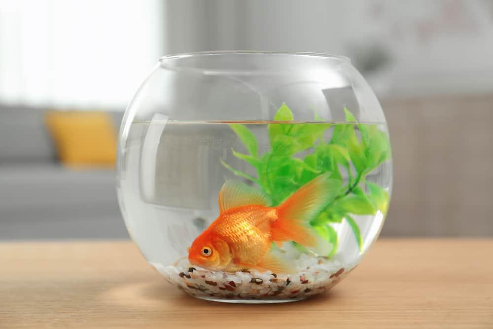 Beautiful bright small goldfish in round glass aquarium
