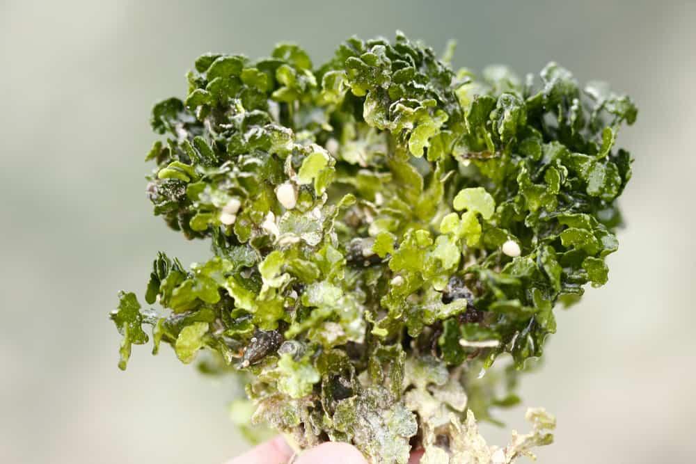Halimeda green macroalgae