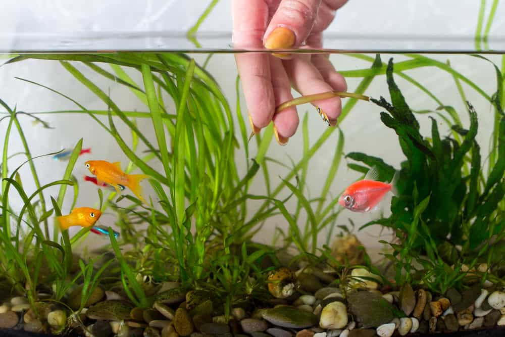 Hand removing old aquarium plants and cleaning glass