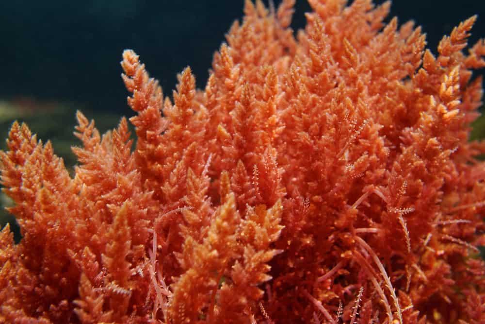 Harpoon weed red algae