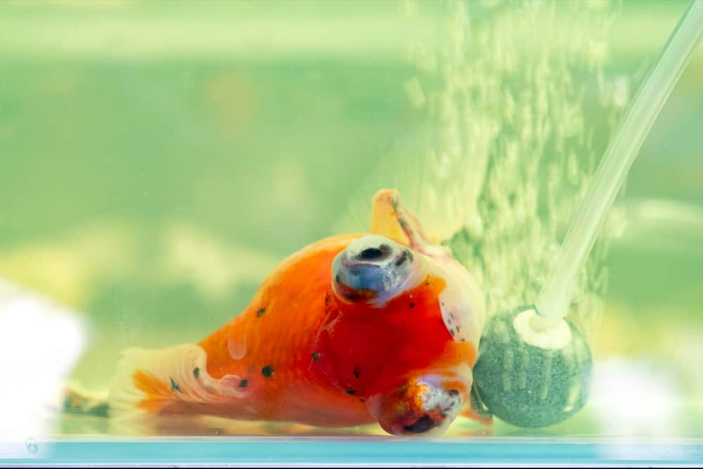 Sick goldfish lying in the bottom of the aquarium