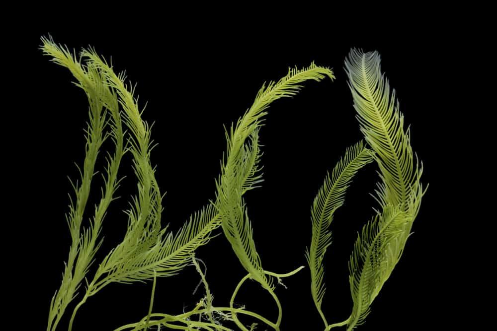 macroalgae seaweed