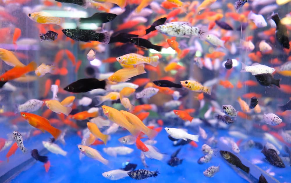 mix colors of platy fishes
