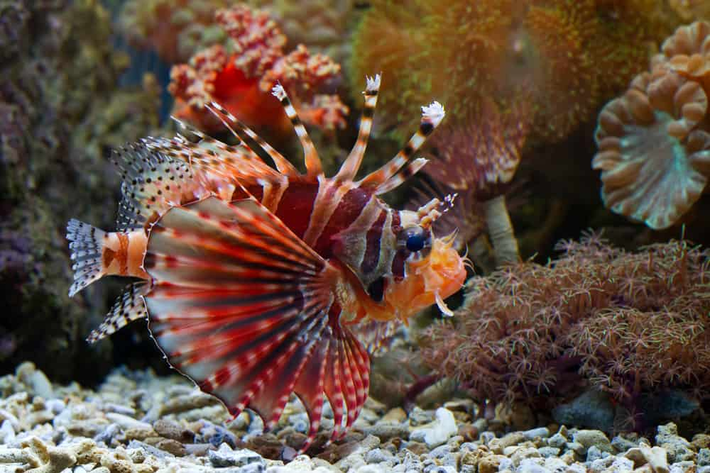 Beautiful Fuzzy dwarf lionfish
