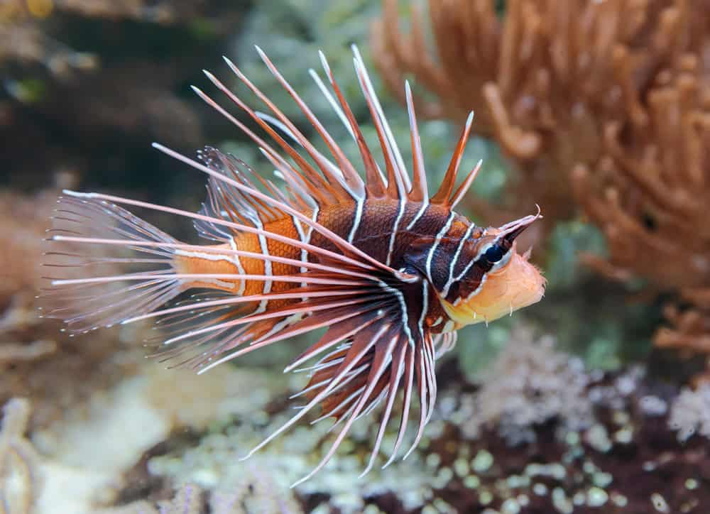 Close-up view of a Clearfin Lionfish