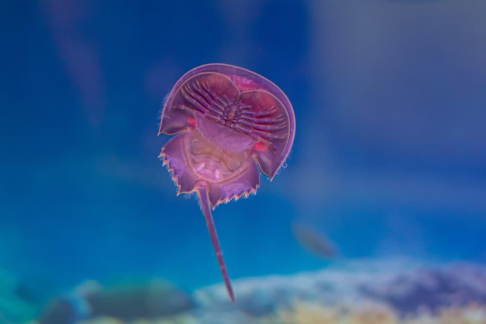Horseshoe crab In the aquarium