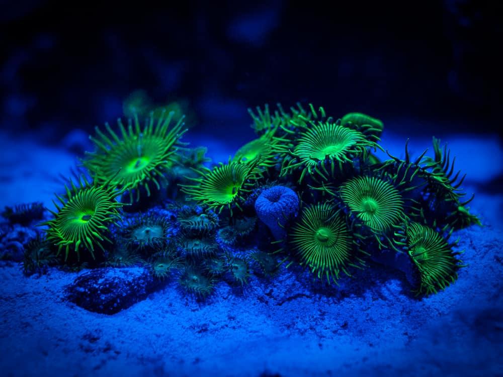 Palythoa Corals