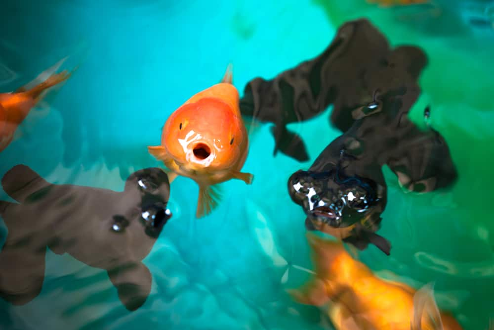 Ranchu and Celestial eye gold fishes breathing on fish tank's surface