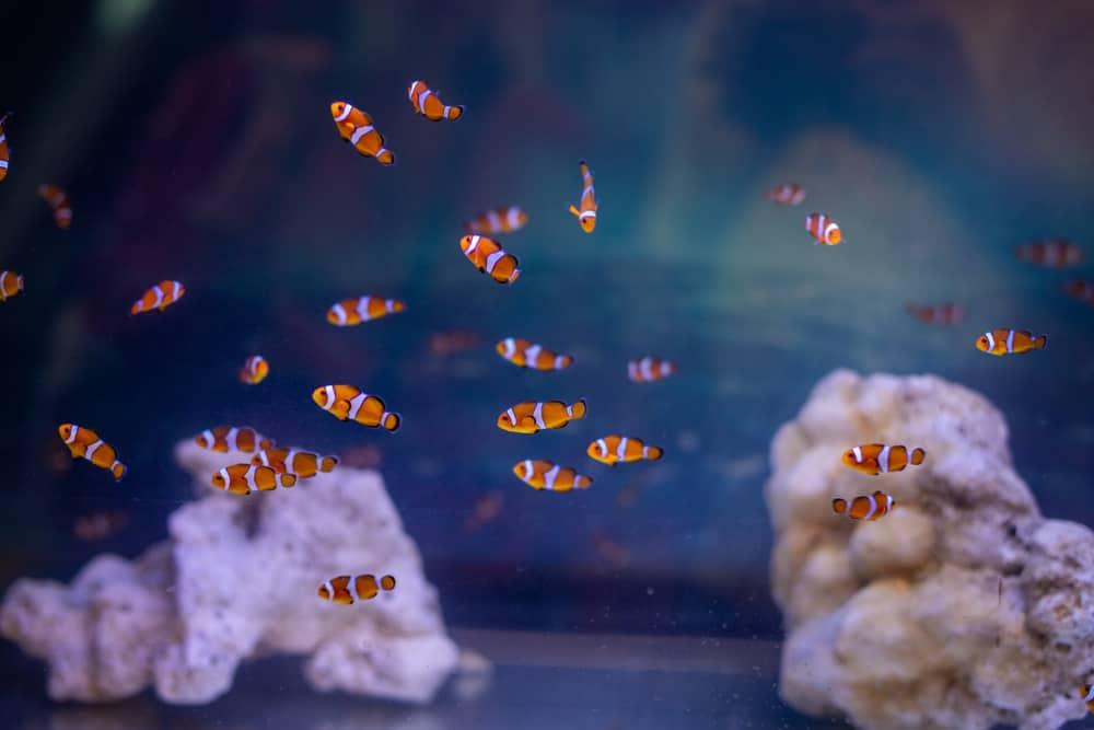 Small Clownfish in the aquarium