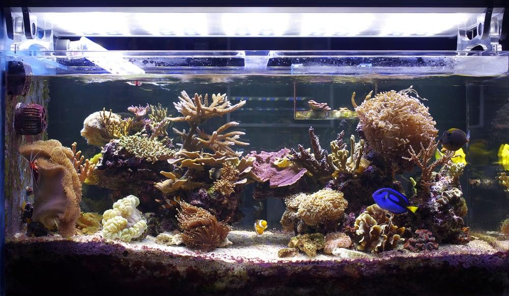 aquarium coral, reef tank
