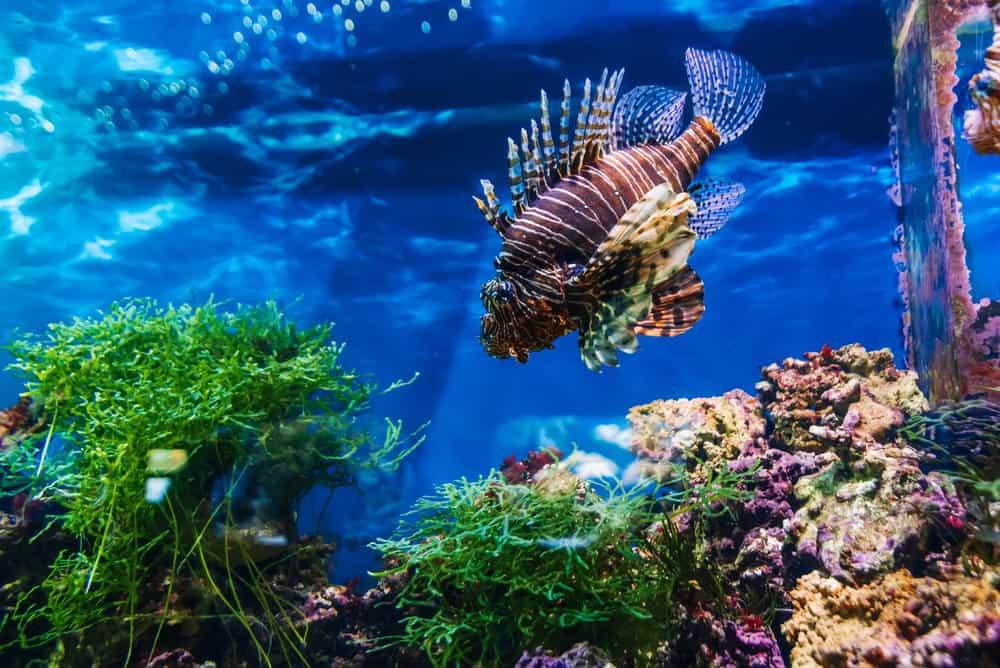 beautiful exotic fish red lionfish