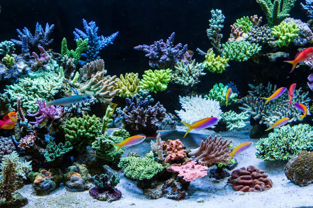 corals and Schooling of anthais in sps tank