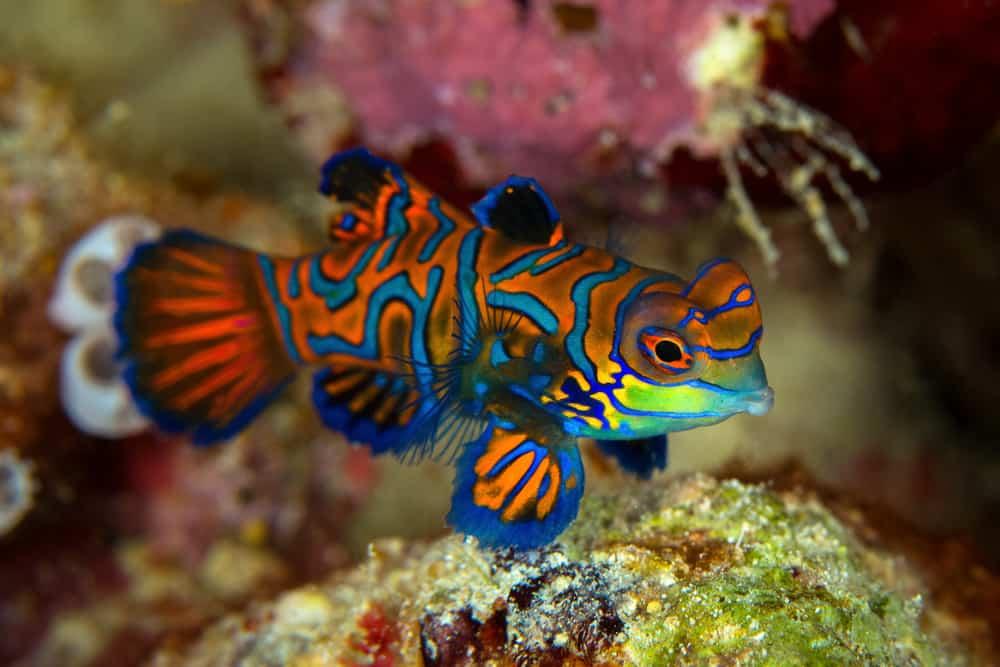 Mandarinfish,Or,Mandarin,Dragonet,(,Synchiropus,Splendidus,),Is,Close-up