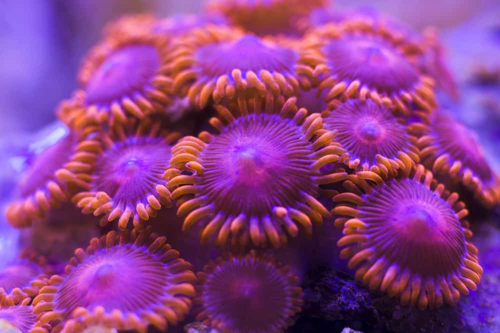 zoanthus coral