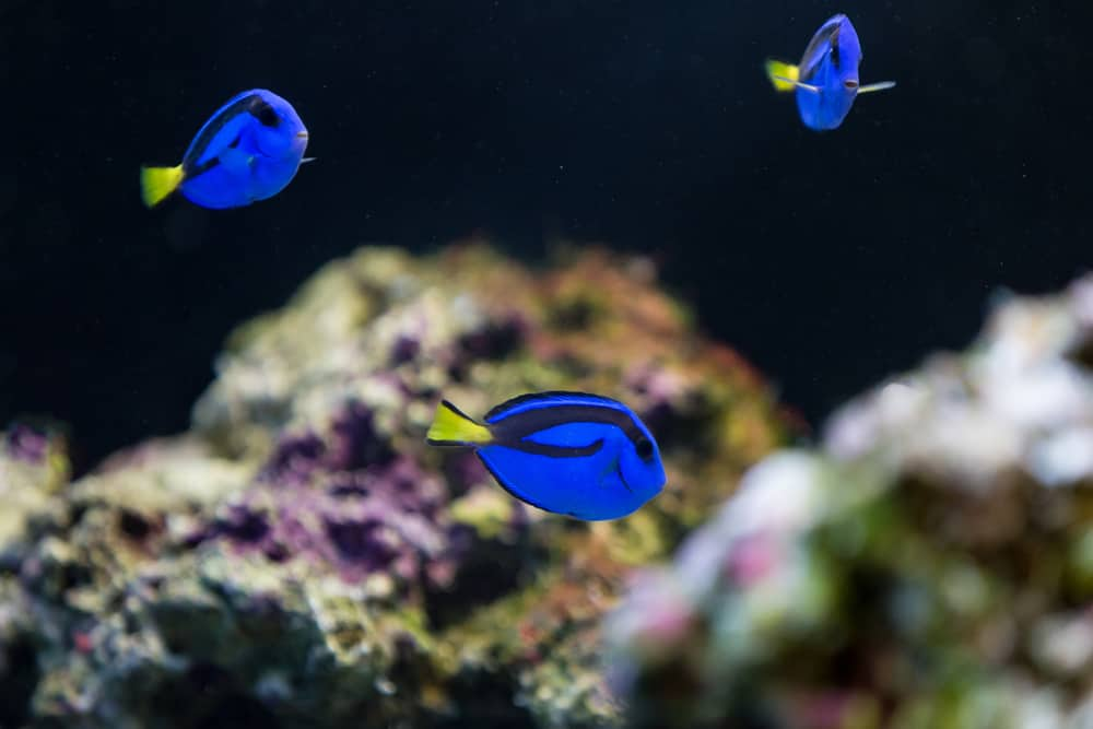 Blue Hippo Tang fish with coral