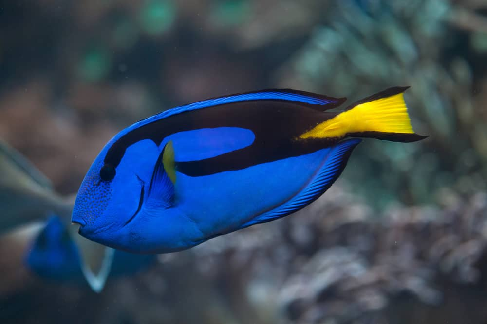 Blue surgeonfish (Paracanthurus hepatus), also known as the blue tang