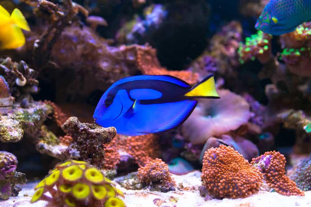 Blue tang in Home Coral reef aquarium