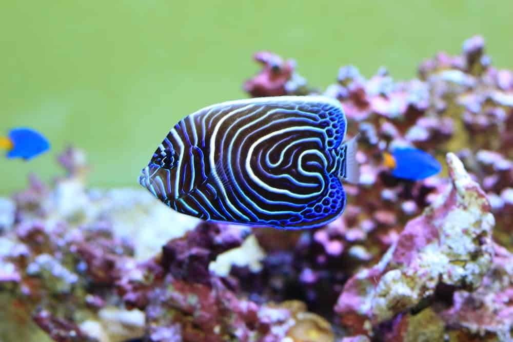 Emperor angelfish (Pomacanthus imperator) young fish