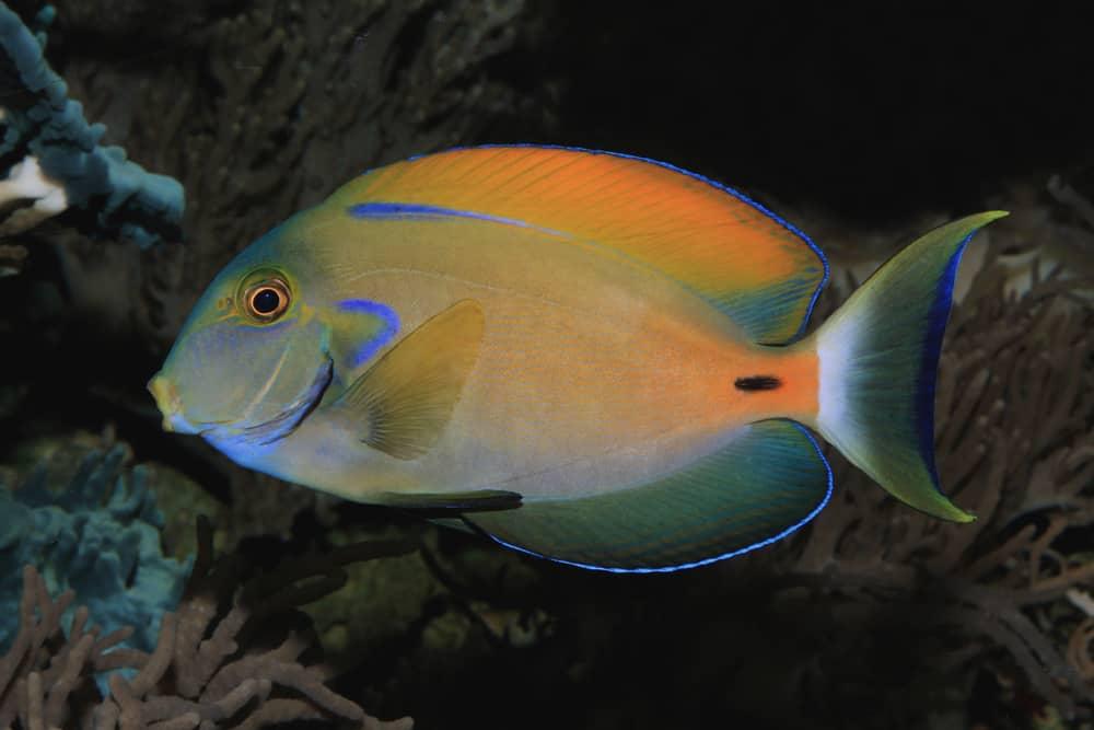 Fowler's surgeonfish
