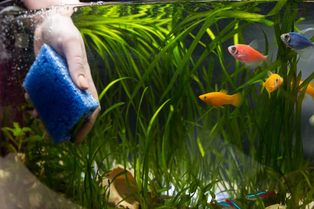 Hand with sponge cleaning aquarium with plans and fish