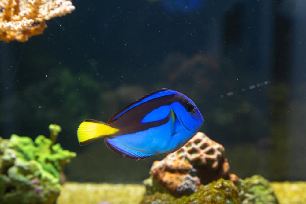 Paracanthurus hepatus - Blue tang in reef aquarium