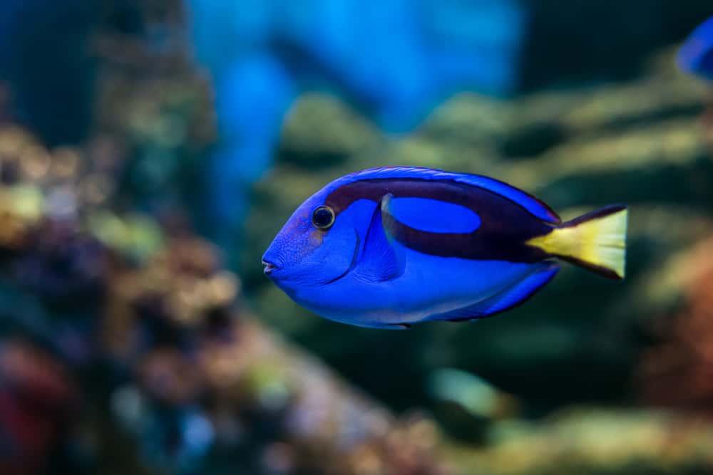 Royal blue regal tang fish