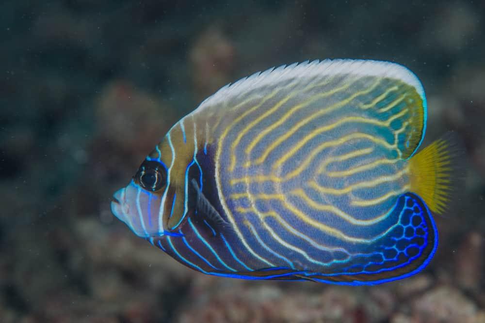 The emperor angelfish