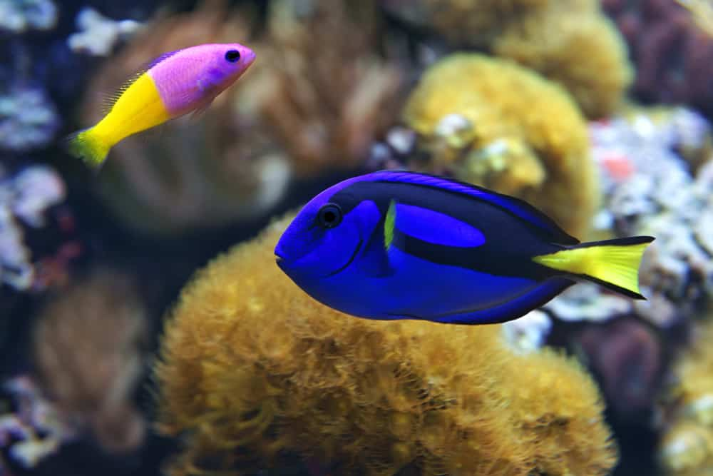blue tang and Bicolor Dottyback.